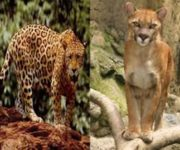 Perra pudo haber sido atacada por gran felino en Jurica, Querétaro