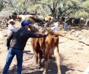 Implementan en Peñamiller campaña de vacunación y desparasitación a ganado