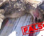 Falso que hayan encontrado y matado a puma en SJR