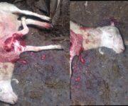 Habría atacado Puma a borregas en Paso de Mata, San Juan del Río